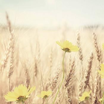Панель декоративная матовая 2440х600х4 мм Пшеничное поле PM 015 (кухонный фартук МДФ)